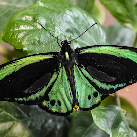 Cairns Birdwing by Dawn Hoehn Hagler - Animals Insects & Spiders ( butterfly, green, tucson botanical gardens, insect, cairns birdwing, garden,  )