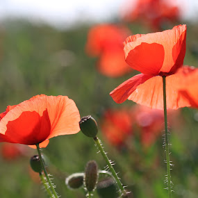 poppy 2 by Carola Mellentin - Flowers Flowers in the Wild