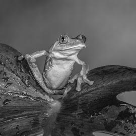 Jean by Garry Chisholm - Black & White Animals ( studio, chameleon photography, nature, tree frog, amphibian, garrychisholm )