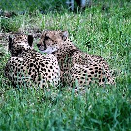 by Bruce Newman - Animals Lions, Tigers & Big Cats ( animals, big cats, nature, 2 chetas, landscape )