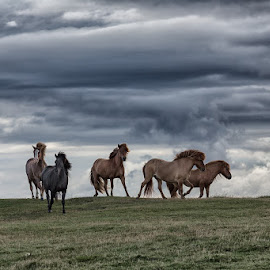 Over the hill by Bragi Kort - Animals Horses ( clouds, iceland, horses, icelandic pony )