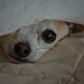 Chihuahua in Morning by Steven Greenbaum - Animals - Dogs Portraits ( zoey )
