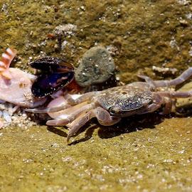 Crab by Susan Pretorius - Animals Sea Creatures (  )