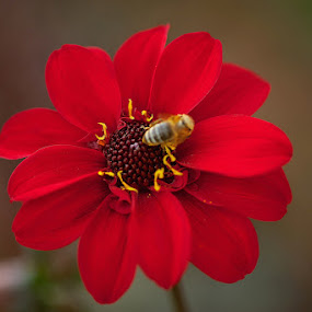 Top Sweetness by Savio Joanes - Nature Up Close Flowers - 2011-2013 ( #flower#red#bee#marco#nature )