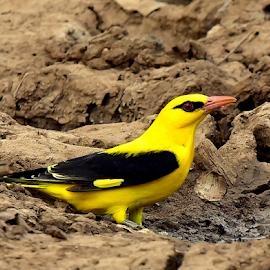 Golden oriole by Manoj Kulkarni - Animals Birds ( sanctuary, oriole, nature, bird, yellow, golden, wildlife )
