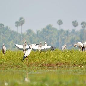 Asian Openbill Stork by Yogesh Kumar - Animals Birds ( open, stork, bill, feathers, asian )
