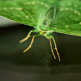 Large Emerald Moth by James Johnstone - Animals Insects & Spiders ( emerald, green, moth, large )