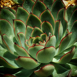 Succulent plant by Janette Ho - Nature Up Close Other plants