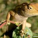 Oriental Garden Lizard (female)