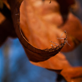 winter leaves by Dragan Dvorski - Novices Only Macro ( orange, macro photography, leaves, bokeh, macro, winter, sky, nature, blue, nature up close, day, rust, natural, daylight )