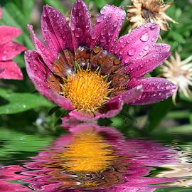 purple gazania by LADOCKi Elvira - Digital Art Things ( nature, flowers, garden )