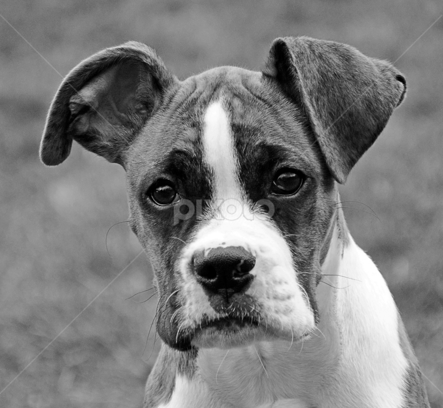 Dojo's Taji Moja by Donna Nicklas - Animals - Dogs Portraits