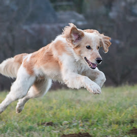 In the morning by Dubravka Krickic - Animals - Dogs Running ( winter, play, cute, fast, dog, run )
