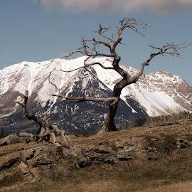Burmis Tree by Giselle Pierce - Nature Up Close Trees & Bushes ( mountain, tree, snow, rocks )