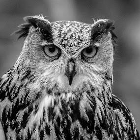 Eagle Owl by Garry Chisholm - Black & White Animals ( bird, garry chisholm, nature, black and white, owl, wildlife, prey,  )