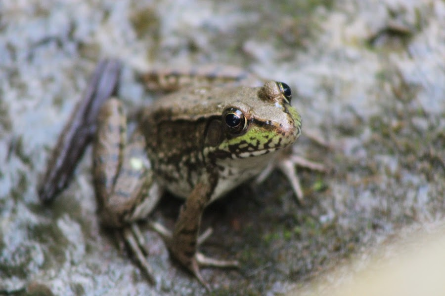 Froggy by Rhonda Mullen - Animals Amphibians