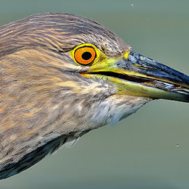 Night Heron by Albergamo Paolo - Animals Birds ( bird, paolo albergamo, oasi, night heron, animal )