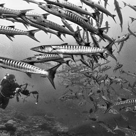Barracudas on the move by Steven Redmond - Landscapes Underwater ( water, underwater, fish, tropical, dive, sea, ocean, travel, south pacific, barracuda, photographer, solomon islands, diving )