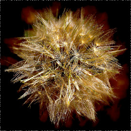 Distorted Dandelion Pod by Drake Dyck - Abstract Macro ( dandelion, delicate, fuzzy, seeds, pod )
