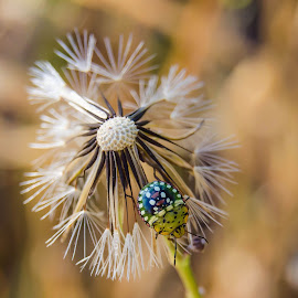 Dandelion & bug by Cindy Bester - Nature Up Close Other plants ( dandelion, nature up close, bug, garden, bokeh )