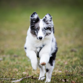 Come Here! by Peter Grutter - Animals - Dogs Running ( dogs, shetland sheepdog, luzern, aiyana, lucerne, sheltie )