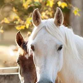That sweet face... by Heather Brooks - Animals Horses (  )