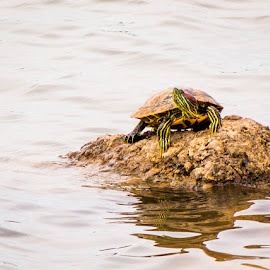 Red Ear Slider by Jim Hendrickson - Animals Amphibians ( water, nature, wildlife, turtles, turtle )