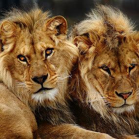 Les deux frères by Gérard CHATENET - Animals Lions, Tigers & Big Cats (  )