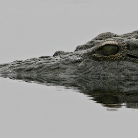 Crocodile portrait by Johann Harmse - Animals Reptiles ( nature, crocodile, nature up close, nature close up, reptile,  )