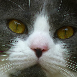 Kitty Close Up by Paulette King - Animals - Cats Portraits ( cat, pet, neighbor cat, pebbles, animal )