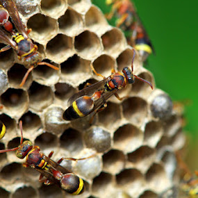 Yellow Jacket Hornets by Nelwan Handoko Hasan - Animals Insects & Spiders ( jacket, hive, wasp, hornet, yellow )