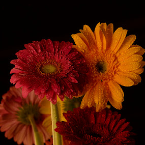 Gerbera Reflection by Gabrielle Libby - Nature Up Close Flowers - 2011-2013 ( red, daisies, daisy, pink, yellow, gerbera, flower, black )