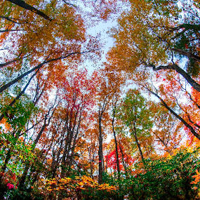 Fall Colors by Cathie Crow - Nature Up Close Trees & Bushes ( sc state parks, fall colors, caesars head state park, fall foliage, wide angle photography, leaves, sc state park, hiking, sky, state parks, nature, fall, trees, nature photography )