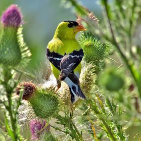Gold Finch In The Thistle by Howard Sharper - Animals Birds ( thistle, meadow, wildlife, finch, birding )