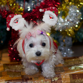 my small dog as santa claus by LADOCKi Elvira - Public Holidays Christmas ( glowing decorations, holiday, christmas decorations, santa claus, glowing balls, christmas, christmas tree, decorations, christmas balls, merry christmas )