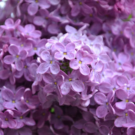 Lilac by Ivona Pilepić - Nature Up Close Gardens & Produce ( nature, purple, lilac, spring, flower )