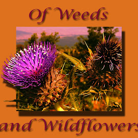 Thistle by Darin Williams - Typography Captioned Photos ( text, thistle, wildflower, weed, canadian, typography )