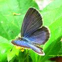 Blue grass buterfly