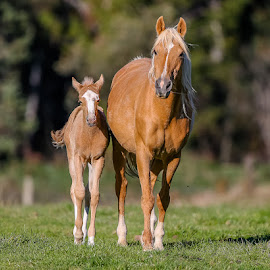 Palomino mare and foal by Glenys Lilley - Animals Horses ( palomino, mare, horse, foal )