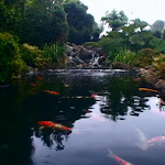 Real pond with Koi Icon