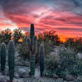 Saguaro Sunset by Charlie Alolkoy - Landscapes Deserts ( desert, sunset, arizona, tucson, saguaro, cactus )