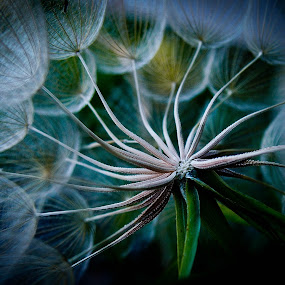 dandelion by Felbert Edrada - Nature Up Close Gardens & Produce ( abstract, dandelion, mirrorless, ep-3, flower, close-up, olympus )