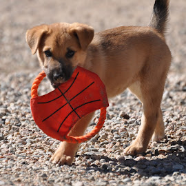 I have a new toy by Marko Ginsberg - Animals - Dogs Puppies ( puppy, frisbee,  )