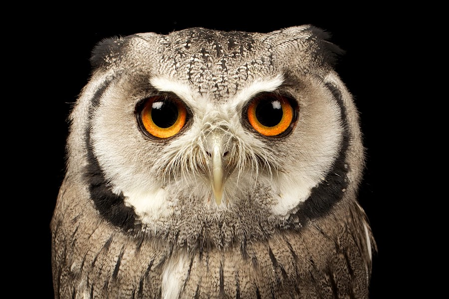 next! by Mark Bridger - Animals Birds ( bird, nature, scoops owl, owl, wildlife, eyes )