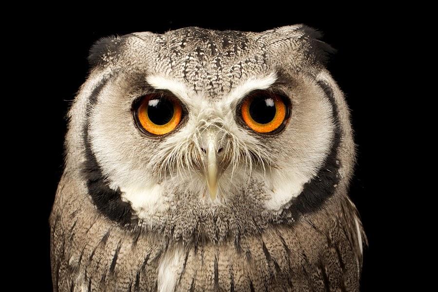 next! by Mark Bridger - Animals Birds ( bird, nature, scoops owl, owl, wildlife, eyes )