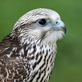 Faucon by Gérard CHATENET - Animals Birds