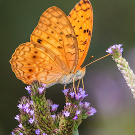 Butterfly by Dirk Luus - Animals Insects & Spiders ( orange, butterfly, nature, insect, animal,  )