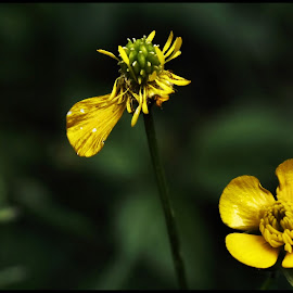 Lonely flower by Alexandru Nita - Flowers Flowers in the Wild ( nature, green, yellow, flowers, lonely )