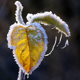 Sunlit Frosty Leaf by Chrissie Barrow - Nature Up Close Leaves & Grasses ( backlit, nature, white, frost, yellow, leaf, sunlight, bokeh, sunlit, closeup )