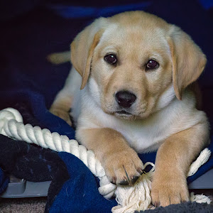 Yellow Lab (8 weeks old).jpg